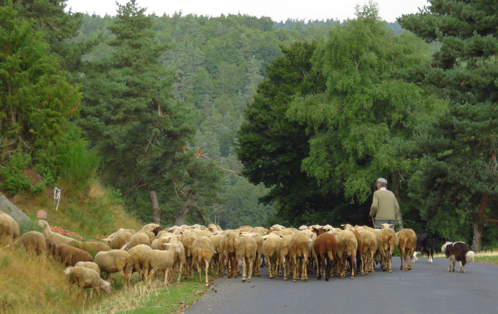 Un berger et ses moutons © Joël Tribhout