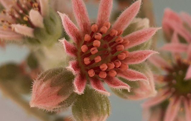 Fleurs de joubarbe