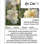 """le rosier """"La Dame du Lac"""" - Le site des nouveaux rosiers de la Pépinière Mela Rosa"""
