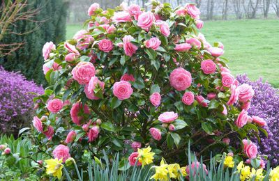 Camélia 'Betty Ridley' - Camellia 'Betty Ridley'
