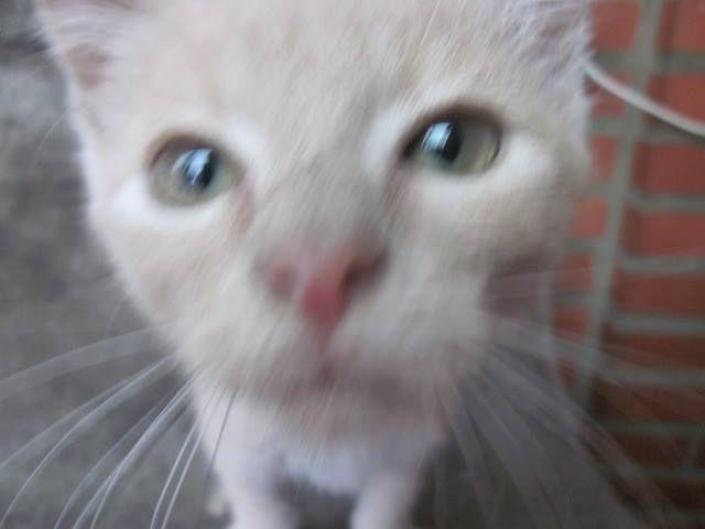 """Il est adopté ! PINKY, mâle de 10 semaines; le chaton """"rose"""""""