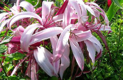 lys grandiflora