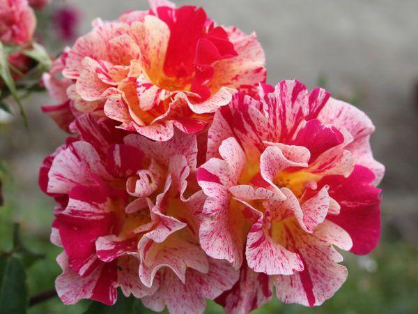 Découvrez le rosier 'Edgar Degas'