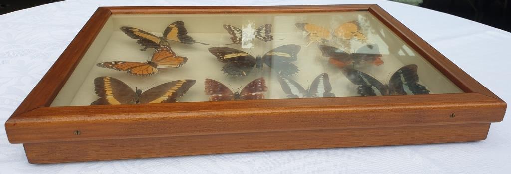 Cadre vitrine 10 papillons du monde naturalisés vintage 1970's - 100 euros