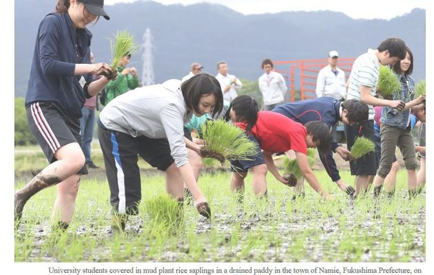 Planting rice in Fukushima