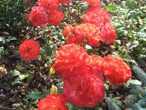 Les rosiers en F. de Fre à Fz.