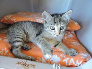 LILI - chaton femelle - 2 mois - adoptée