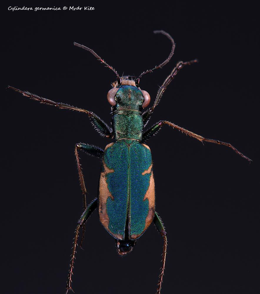 Cylindera germanica, une Cicindèle