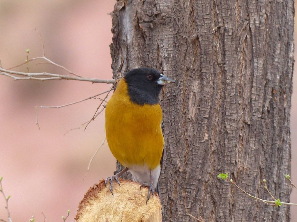 Black-Hooded Sierra-Finch