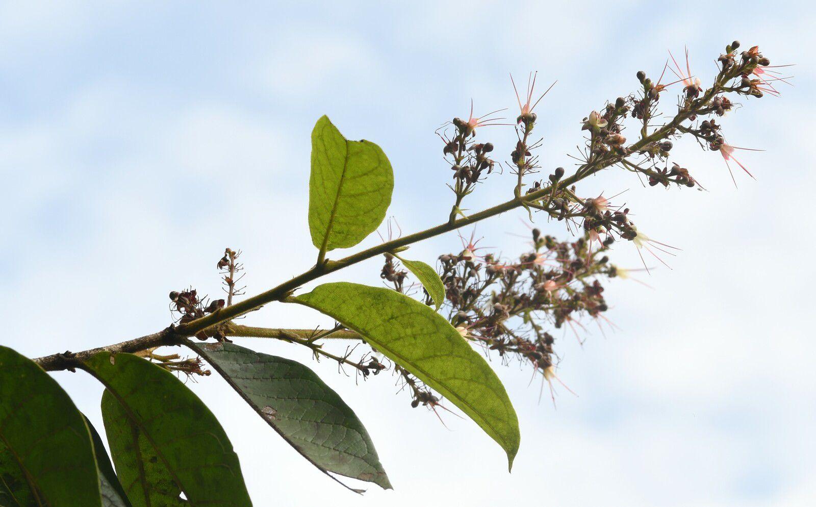 Hirtella glandulosa (à confirmer)