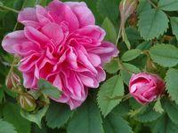 Rosa californica plena - Rosa canina - Rosa damascena - Rosa gallica versicolor - Rosa moschata - Rosa nitida - Rosa roxburghii plena - Rosa rugosa