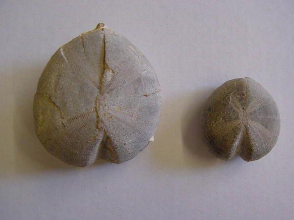"""<p> Les principaux fossiles découverts autour de Visé. </p> <p> Phil """"Fossil"""" </p>"""