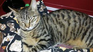 Jaryl, chat mâle tigré, à l'adoption -> adopté