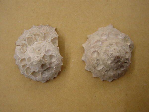 """<p></p> <p>Ah, les gastropodes (ou gastéropodes) ! Superbes de par leur forme en spirale, ils sont très appréciés non seulement des amateurs paléontologues mais aussi des amateurs de coquillages actuels.</p> <p>Découverts sur quasiment tous les sites à fossiles depuis le Paléozoïque inférieur, ils se présentent sous une infinité devariétés !</p> <p>Ici présentés un petit florilège de pièces extraites dema collection privée !</p> <p>Bon amusement.</p> <p>Phil """"Fossil""""</p> <p></p>"""
