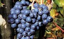 #Rose Dolcetto Producers Pennsylvania Vineyards