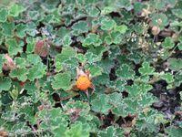 Rubus calycinoides  -  Sedym lydium (coucou Lydie) 'glaucum' -  Stachys mnieri 'Hummelo'