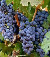 #White Zinfandel Producers Massachusetts Vineyards