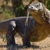 Sign Petition: Komodo Dragons Are Now an Endangered Species. Sign to Protect Them!