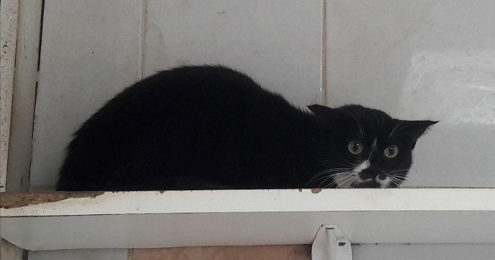 A adopter : KINOA, jeune chatte stérilisée d'1 an