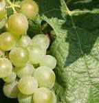 Liebfraumilch Wine Producers Ohio Vineyards