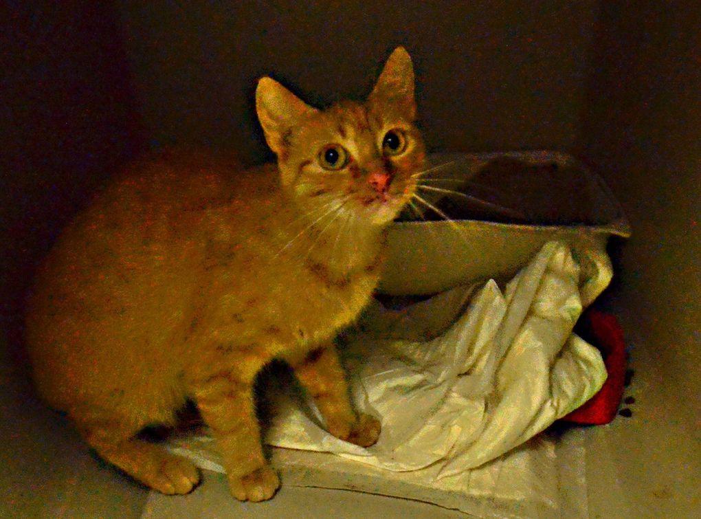 Elle est adoptée !!!! ROUKA : jolie petite chatte rousse à adopter - née en 2013